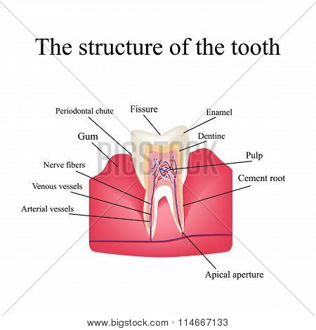 The anatomical structure of the tooth on an isolated background
