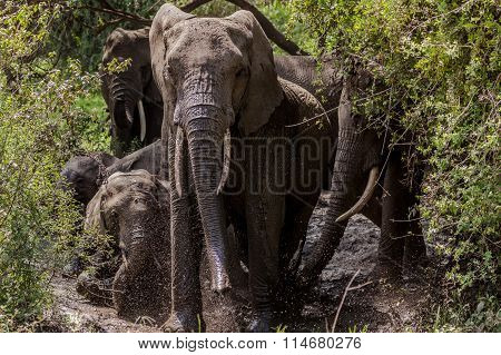 Herd of elephant taking mud bath