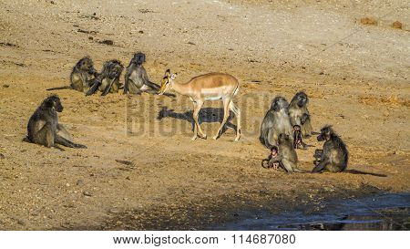 Chacma Baboon And Impala In Kruger National Park