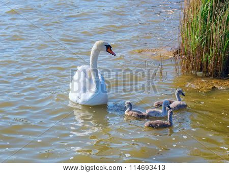 Goose With Young Goslings Swim In The Lake.