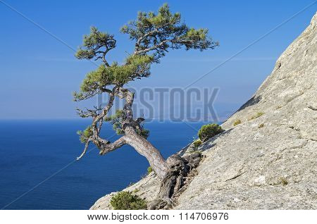 Pine On A Cliff Above The Sea. Crimea.