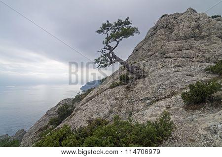 Relict Pine On Mountain Peak. Crimea.