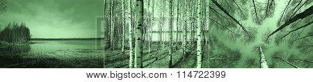 Birch Trees In Finnish Forest