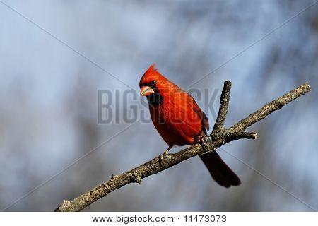 A Cardinal posing.