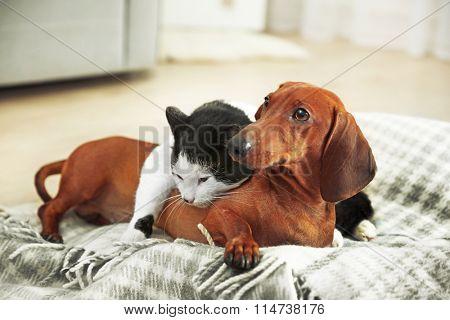 Beautiful cat and dachshund dog on plaid
