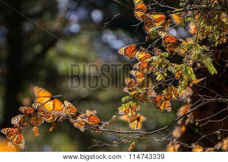 Monarch Butterflies on tree branch