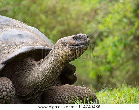 Giant tortoise (Chelonoidis nigra), Galapagos Islands