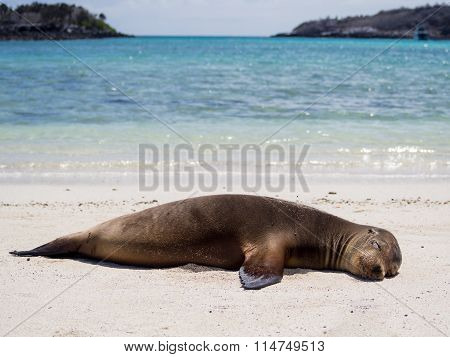 Sea lion on the beach, Santa Fe Island, Galapagos