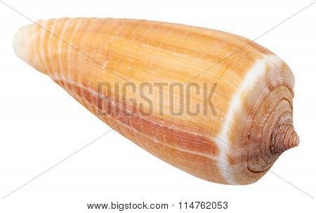 Mollusk Shell Of Sea Cone Snail Isolated On White