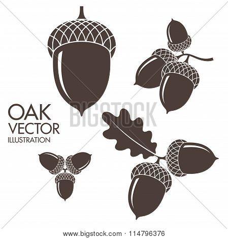 Oak. Acorns