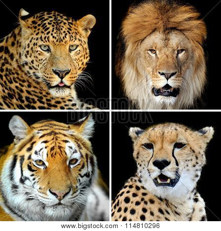 Four Big Wild Cats