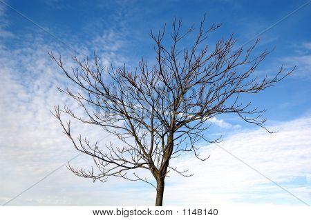 Barren Tree