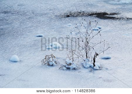sear plant in the ice