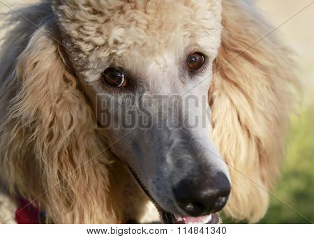 Poertait of young poodle