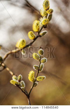 Willow  Branches With Buds Blossoming In Early Spring