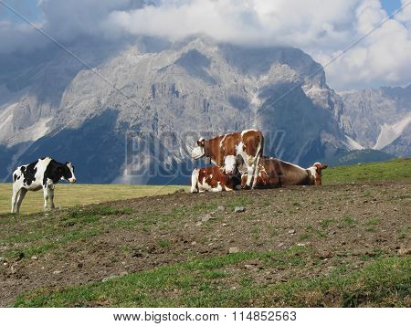 Alpine Pasture With Cows In Foreground And View Of Sesto Dolomites, South Tyrol, Italy In Background