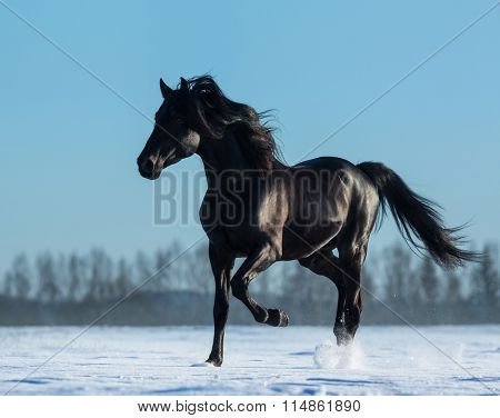 Black Andalusian stallion trotting on snow meadow