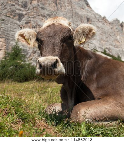 Head Of Brown Cow (bos Primigenius Taurus), With Cowbell