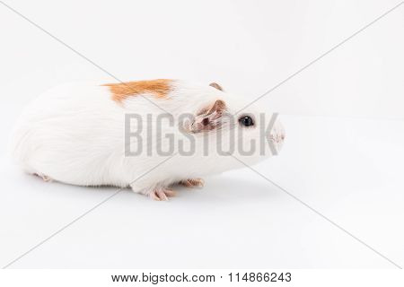 Tame curios pet isolated on white background