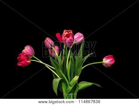 Pink tulips on black background