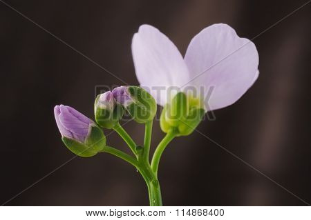 Cardamine Pratensis Cuckooflower Lady's Smock Buds And Flower Petal Against Colored Background