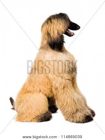 Young Afghan Dog isolated on white