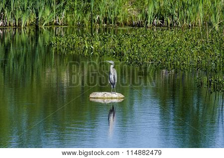 Great Blue Heron Standing On Rock