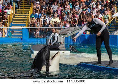 Orca At The Miami Seaquarium