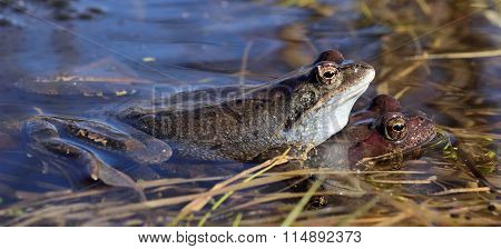 He Common Frog (rana Temporaria) Mating, Also Known As The European Common Frog, European Common Bro