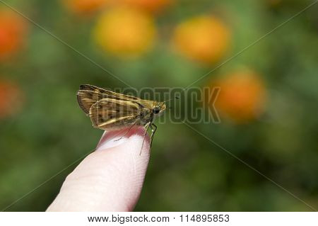 Skipper Butterfly perched on a human finger flowers in background