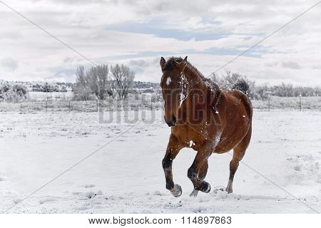 Brown Horse galloping in Snow