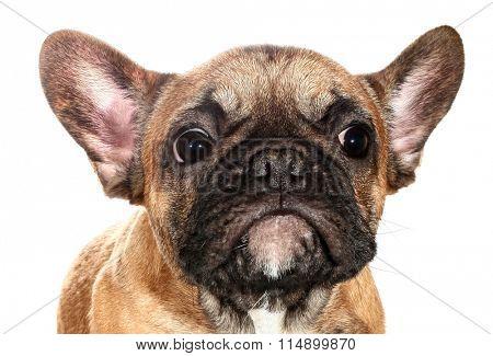 Cute little sad French bulldog puppy