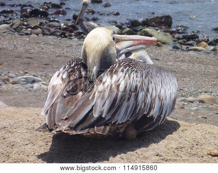 Pelican On The Beach Oc Pacific Ocean