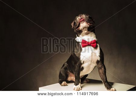 seated french bulldog puppy dog wearing bow tie is looking up to something with tongue exposed in studio