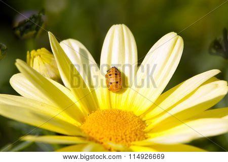 Ladybug larva and yellow dahlia