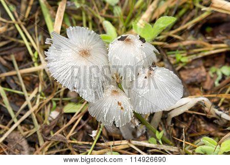 Parasola plicatilis, ephemeral fungi living a single day.