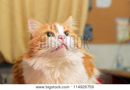 Red Cat With Dreamy Look