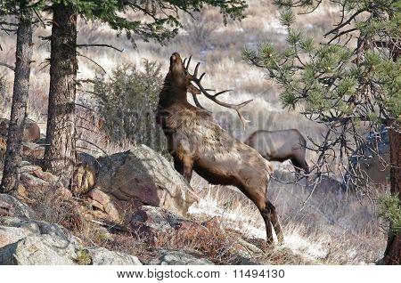 Elk With Antlers