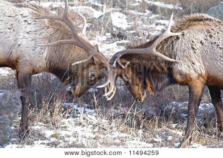 Elks Fighting
