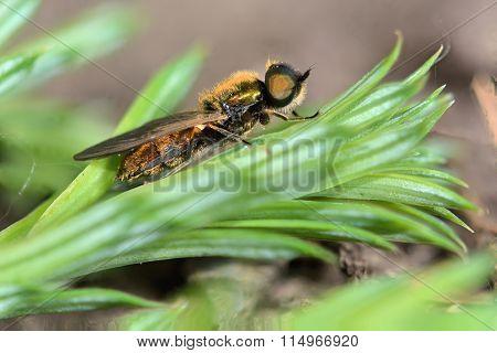 Broad centurion fly (Chloromyia formosa)