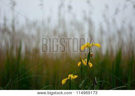 Yellow iris (Iris pseudacorus) in flower in front of reeds