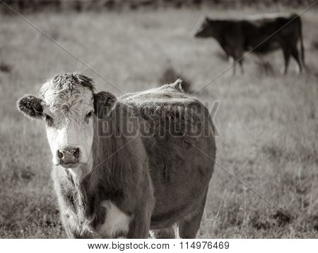A cow watching me from a field with the herd moving behind him in Colorado.