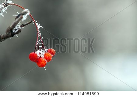 Rowan Berries In The Frost