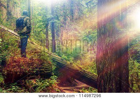 Redwood Forest Hiker