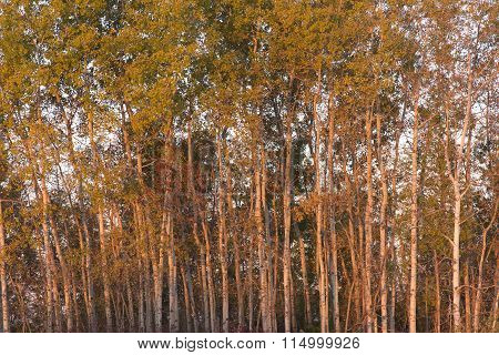 Morning Light On Trembling Aspen