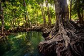 closeup gleams of river among green mangrove trees with interlaced roots under seldom sunlight in tropical tourist park poster