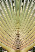 Stalk leaf of bases on a Travelers Palm or Ravenala madagascariensis in the garden. poster