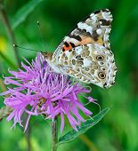 Painted Lady Vanessa cardui feeding on a thistle flower poster