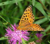 Dark Green Fritillary Argynnis aglaja butterfly feeding on a thistle flower poster