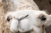 white camel close up looking at you poster